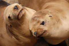 California sea lions. Pair of california sea lions off of a pier in monterey california stock photography