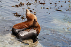 California sea lions. Pair of california sea lions off of a pier in monterey california Royalty Free Stock Photography