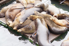California sea lions asleep Stock Photos