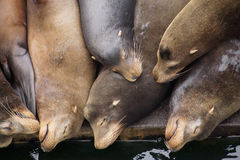 California sea lions asleep Stock Images