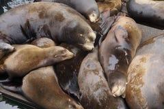 California sea lions asleep Stock Images