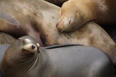 California sea lions asleep Stock Photography