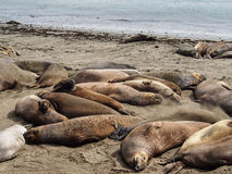 California Sea lions Stock Image