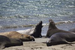 California Sea Lions on the Beach Royalty Free Stock Images