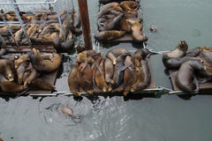 California sea lions on crowded wharf Royalty Free Stock Photography