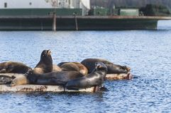 California Sea Lions at Fanny Bay, eastern Vancouver Island, Bri royalty free stock photos