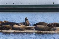 California Sea Lions at Fanny Bay, eastern Vancouver Island, Bri royalty free stock photo