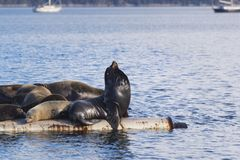 California Sea Lions at Fanny Bay, eastern Vancouver Island, Bri stock image