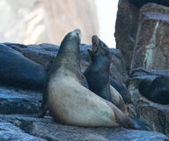 California Sea Lions fighting at the sea lion colony rock at Lands End in Cabo San Lucas Baja Mexico Royalty Free Stock Photos