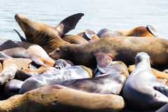 California Sea Lions Royalty Free Stock Photos