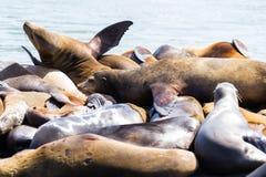 California Sea Lions Royalty Free Stock Photos