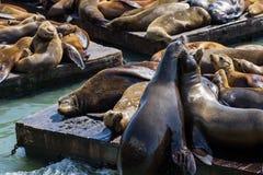 California Sea Lions Stock Image