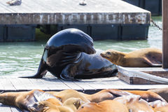 California Sea Lions Stock Photos