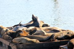 California Sea Lions Haul out on docks of Pier 39`s, San Francisco. California Sea Lions Haul out on docks of Pier 39`s Marina located at the edge of the Royalty Free Stock Photo