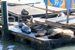 California Sea Lions Haul out on docks of Pier 39`s, San Francisco. California Sea Lions Haul out on docks of Pier 39`s Marina located at the edge of the Royalty Free Stock Photos