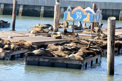 California Sea Lions Haul out on docks of Pier 39`s, San Francisco Royalty Free Stock Photo