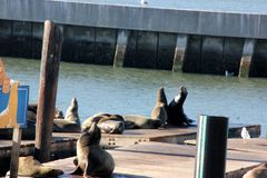 California Sea Lions Haul out on docks of Pier 39`s, San Francisco Stock Images