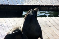 California Sea Lions Haul out on docks of Pier 39`s, San Francisco. California Sea Lions Haul out on docks of Pier 39`s Marina located at the edge of the Stock Photos