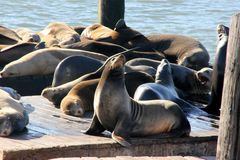California Sea Lions Haul out on docks of Pier 39`s, San Francisco. California Sea Lions Haul out on docks of Pier 39`s Marina located at the edge of the Stock Photo