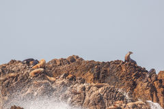 California Sea Lions on Island Stock Photos
