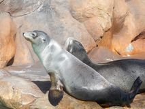 California sea lions in Siam Park, Tenerife royalty free stock photo
