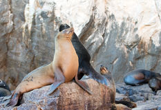 California Sea Lions on La Lobera the Sea Lion colony rock at Lands End in Cabo San Lucas Stock Photography