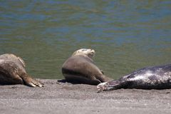 Alifornia. Seals are on the mouth of the Russian River Royalty Free Stock Photography