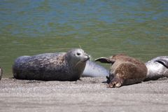 Alifornia. Seals are on the mouth of the Russian River Royalty Free Stock Images