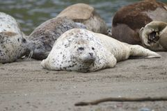 California sea lions and northern elephant seals are seen on Sonoma`s Pacific Coast. California sea lions and northern elephant seals are seen on Sonoma`s stock photography