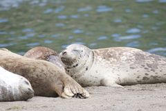 California sea lions and northern elephant seals are seen on Sonoma`s Pacific Coast. California sea lions and northern elephant seals are seen on Sonoma`s royalty free stock photos
