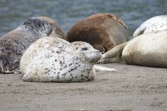 California sea lions and northern elephant seals are seen on Sonoma`s Pacific Coast. California sea lions and northern elephant seals are seen on Sonoma`s stock images