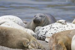 California sea lions and northern elephant seals are seen on Sonoma`s Pacific Coast. California sea lions and northern elephant seals are seen on Sonoma`s stock photos