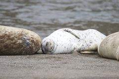 California sea lions and northern elephant seals are seen on Sonoma`s Pacific Coast. California sea lions and northern elephant seals are seen on Sonoma`s royalty free stock image