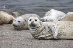 California sea lions and northern elephant seals are seen on Sonoma`s Pacific Coast. California sea lions and northern elephant seals are seen on Sonoma`s royalty free stock images