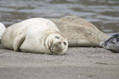 California sea lions and northern elephant seals are seen on Sonoma`s Pacific Coast. California sea lions and northern elephant seals are seen on Sonoma`s royalty free stock photography