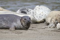 California sea lions and northern elephant seals are seen on Sonoma`s Pacific Coast. California sea lions and northern elephant seals are seen on Sonoma`s stock image