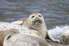 California sea lions and northern elephant seals are seen on Sonoma`s Pacific Coast. California sea lions and northern elephant seals are seen on Sonoma`s stock photo
