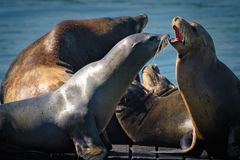 California Sea Lions out in the sun stock images