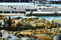 California sea lions on Pier 39 in San Francisco Royalty Free Stock Photos