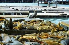 California sea lions on Pier 39 in San Francisco Royalty Free Stock Photos