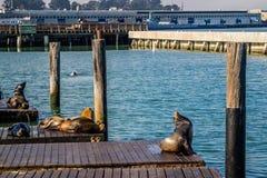 California Sea Lion in San Francisco, California royalty free stock image