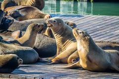 California Sea Lion in San Francisco, California royalty free stock images