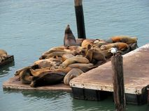 California sea lions on Pier 39 Stock Photo