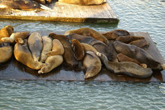 California Sea Lions on Pier 39, San Francisco Bay, California, USA Royalty Free Stock Images