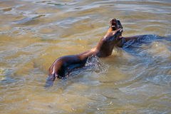 California sea lions playing Royalty Free Stock Photography