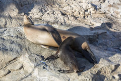 California Sea Lions, Pups with the mother drinks milk, Seal wit Royalty Free Stock Images