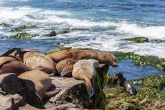 California Sea Lions Zalophus Californianus in La Jolla. California sea lions resting on the beach in La Jolla, San Diego, California Zalophus Californianus. An royalty free stock photo