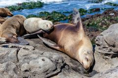 California Sea Lions Zalophus Californianus in La Jolla. California sea lions resting on the beach in La Jolla, San Diego, California Zalophus Californianus. An stock images
