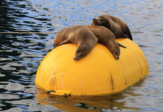 California Sea Lions Resting on Bouy Royalty Free Stock Photo