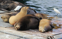 California Sea Lions Resting. A group of California sea lions do what they do best.  Sleep.  They are sleeping on a bait receiver in Mission Bay, San Diego Stock Photos